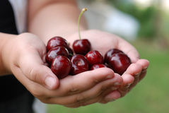 Two hands holding bunch of fresh cherries Stock Photos