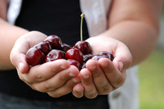 Two hands holding bunch of fresh cherries Stock Photography
