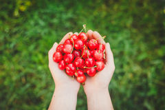 Two hands holding bunch of fresh cherries Royalty Free Stock Images