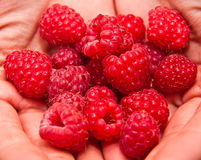 Two hands holding a bunch of raspberry. Royalty Free Stock Images