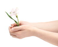 Two hands holding a flower in handful of ground Royalty Free Stock Image