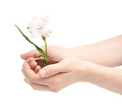 Two hands holding a flower in handful of ground Royalty Free Stock Photos