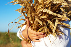 Two hands holding golden wheat spikes on field Royalty Free Stock Photo