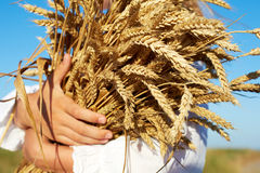 two hands holding golden wheat spikes on field Royalty Free Stock Images