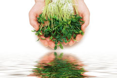 Two hands holding herbs Royalty Free Stock Photo