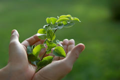 Two hands holding a tree branch Stock Photos