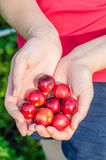 Two hands holding wild fruits Royalty Free Stock Images