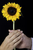 Two hands holding a yellow sunflower Stock Photography