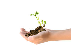 Two hands holding young plant. Closeup of two hands holding young plant on white background Stock Photo