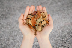 Two hands human hold leaves dry life Concept Stock Photos