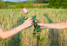 Two hands and the Rose. Hand of a men giving a rose to the hand of a woman royalty free stock photos
