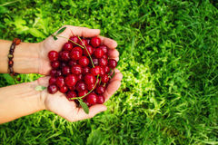 Two hands of woman with ripe cherries on the green background. Stock Images