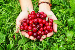 Two hands of woman with ripe cherries on the green grass. Royalty Free Stock Photos