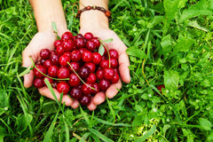 Two hands of woman with ripe cherries on the green grass. Stock Image