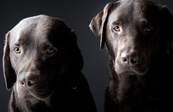 Two handsome chocolate labradors Royalty Free Stock Images
