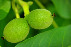 Two hanging green walnuts Stock Photo