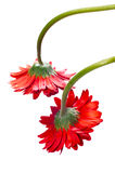 Two hanging red gerbera flower from the top Royalty Free Stock Images