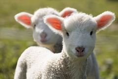 Happy Lamb, Wainuiomata, New Zealand stock images