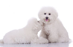 Two happy bichon frise dogs Royalty Free Stock Photography