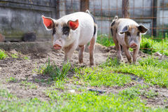 Two happy black spotted piglets running. In backyard, in a beautiful day of spring Stock Photography