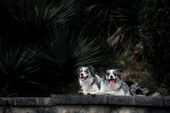 Two happy border collie walking in an exotic park royalty free stock image