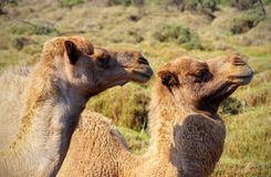 Two happy camels in love outdoors. Namibia royalty free stock images
