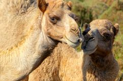 Two happy camels in love outdoors. Namibia royalty free stock photography