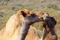 Two happy camels in love outdoors. Namibia royalty free stock photo