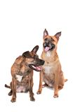 Two happy dogs Royalty Free Stock Image