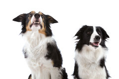 Two happy dogs. Two cute sheep dogs sitting on white background looking up Royalty Free Stock Image