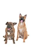 Two happy dogs. 2 very happy dogs sitting paying attention over white royalty free stock photography