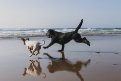 Free Two Happy Dogs Having Fun At The Beach. Running By The Sea Shore With Reflection On The Water At Sunset. Cute Small Dog, Black Royalty Free Stock Photos - 147384818