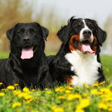 Two happy dogs lie in the summer outdoors. His tongue hanging out from the heat stock photos