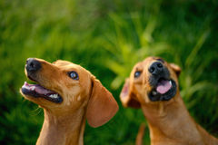 Two Happy Dogs Royalty Free Stock Images