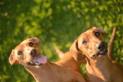 Two Happy Dogs Royalty Free Stock Photo