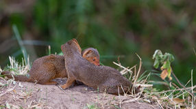 Two happy Dwarf Mongooses Stock Image