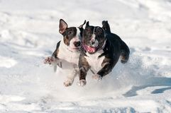 Two happy english bull terrier dogs playing together in the snow. Two happy dogs playing in the snow royalty free stock image