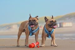 Free Two Happy French Bulldog Dogs On Vacations Wearing Matching Sailor Style Dog Harnesses At Sand Beach Stock Photography - 164581872