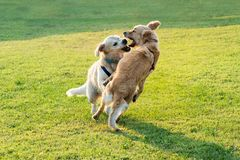 Two happy Golden Retriever dogs playing. Together, jumping and biting each other royalty free stock photography