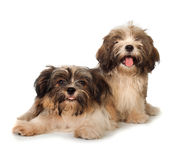 Two happy havanese dog isolated on white background Royalty Free Stock Images