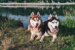 Two Happy Husky Dogs. Portrait of pair huskies smiling. Copy space. stock images