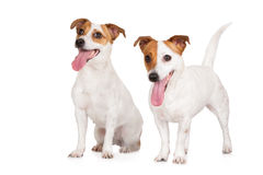 Two happy jack russell terrier dogs Stock Images