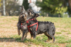 Two happy  mini dogs playing at a park. Royalty Free Stock Photos