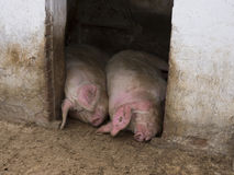Two happy pigs sleeping Stock Photos