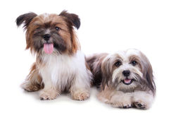 Two happy puppies posing. Two happy shih tzu puppies smiling at camera, isolated on white background Royalty Free Stock Images