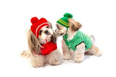 Two happy shih-tzu puppies playing in winter clothes royalty free stock images