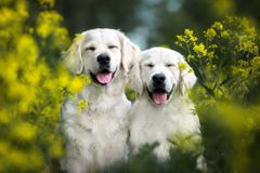 Two happy smiling dogs posing outdoors in summer royalty free stock photos