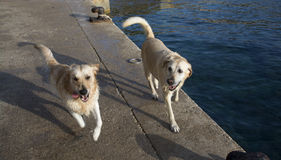 Two Happy Wet Dogs Royalty Free Stock Photos