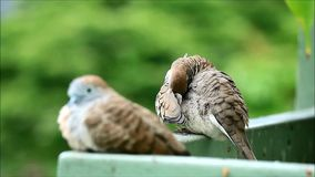Two happy wild zebra dove at the balcony, one relaxing another one Preening, Blurred Plants Background stock video