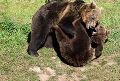 Two young brown bears playing stock photos